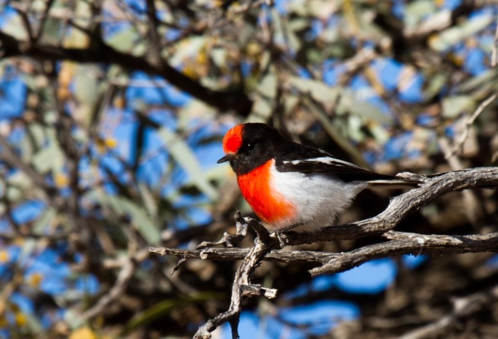 Red-capped Robin. Photo: Bobby Tamayo
