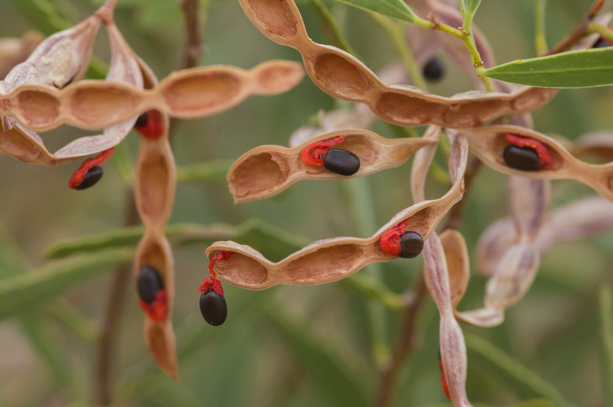 <i>Acacia ligulata</I> seeds. Photo: David Nelson