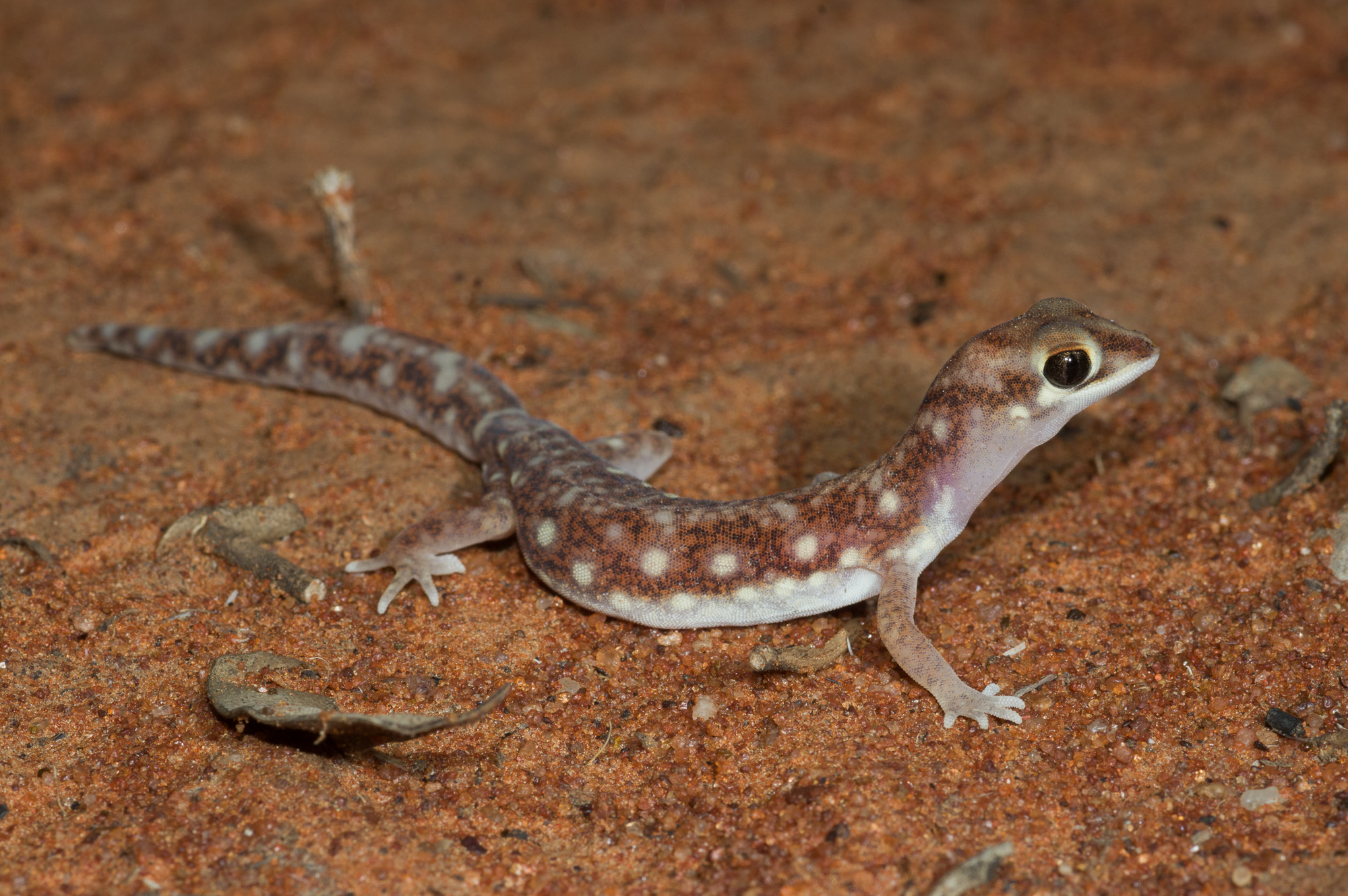 <i>Rhynchoedura eyrensis</I>, Beaked Gecko. Photo: David Nelson