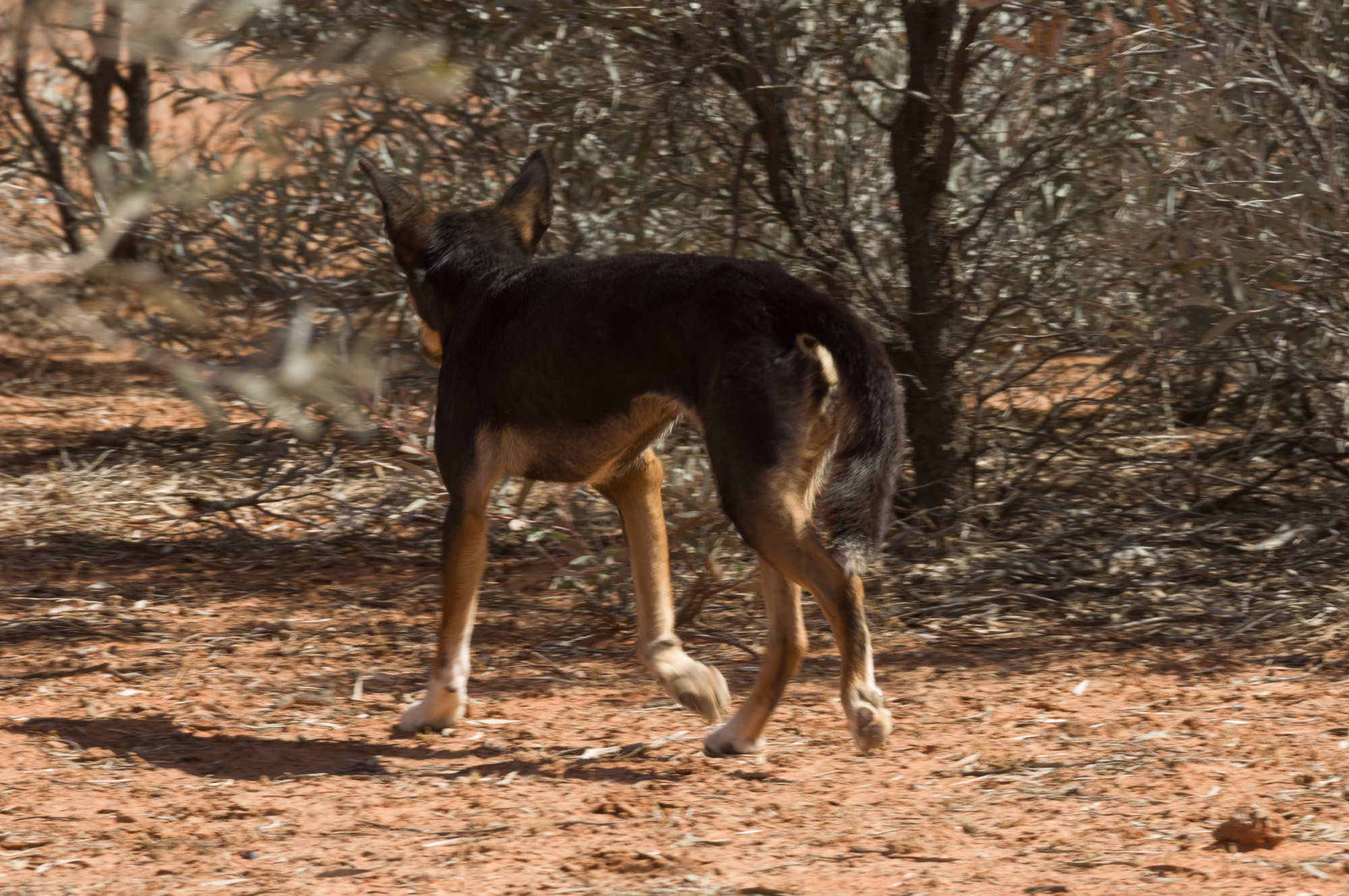 Black-and-Tan Dingo. Photo: David Nelson