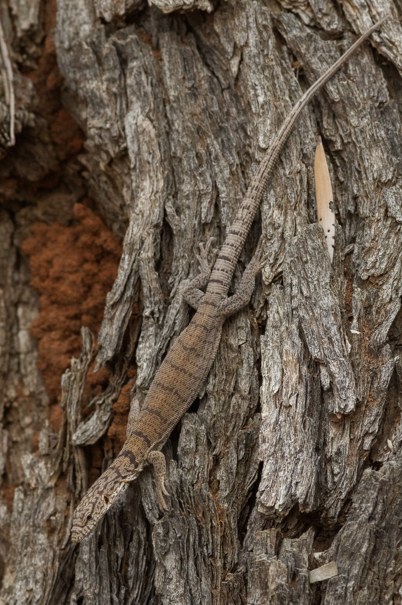 <i>Varanus gilleni</I>, Pygmy Mulga Goanna. Photo: David Nelson