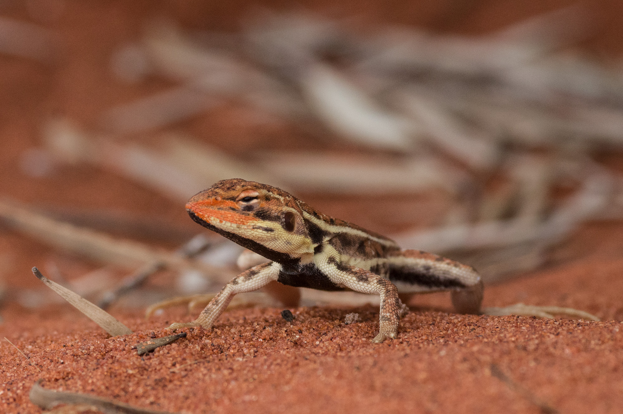 <i>Ctenophorus isolepis</I>, Military Dragon. Photo: David Nelson