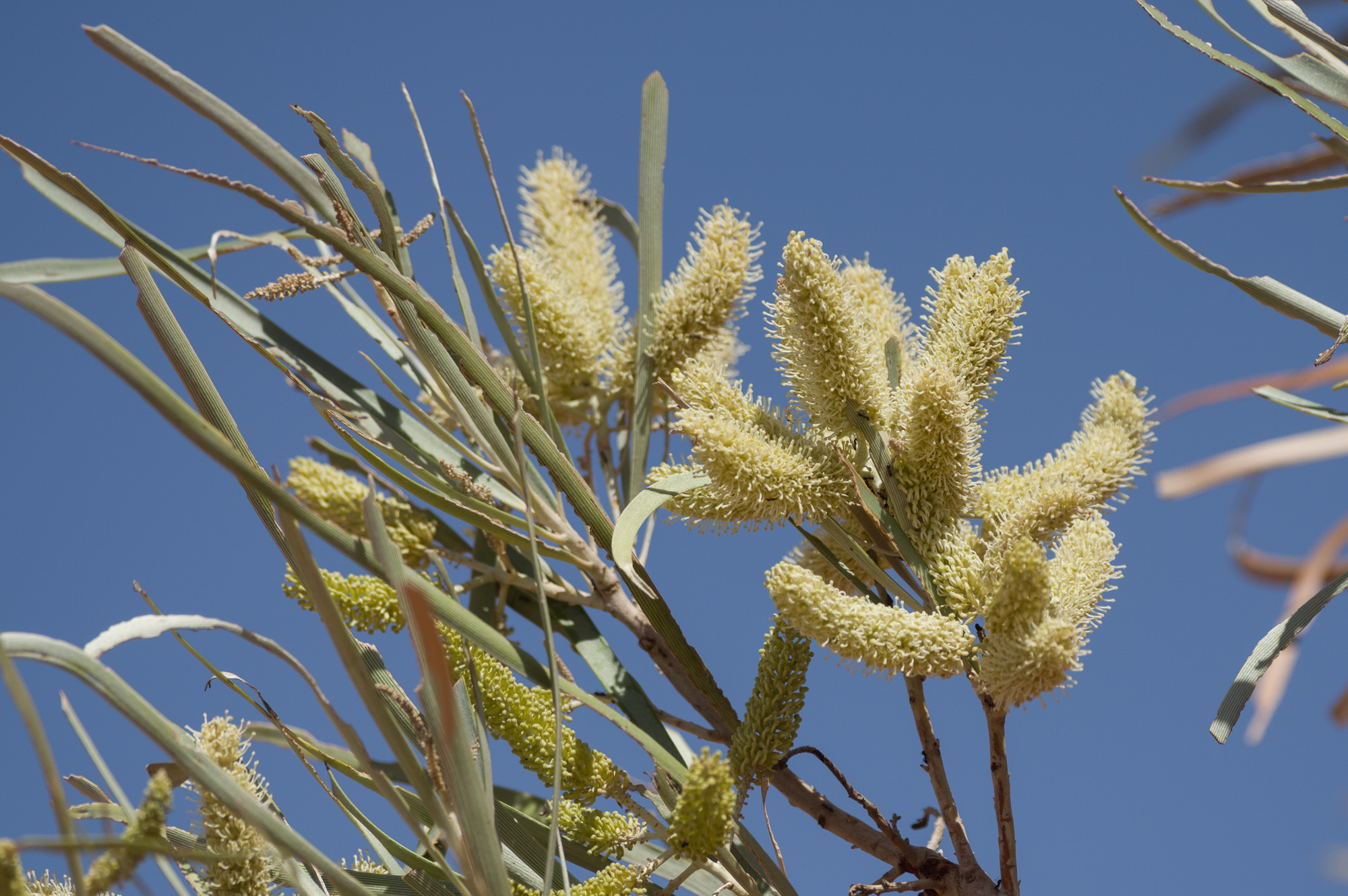 Beefwood, <I>Grevillea striata</I>. Photo: David Nelson