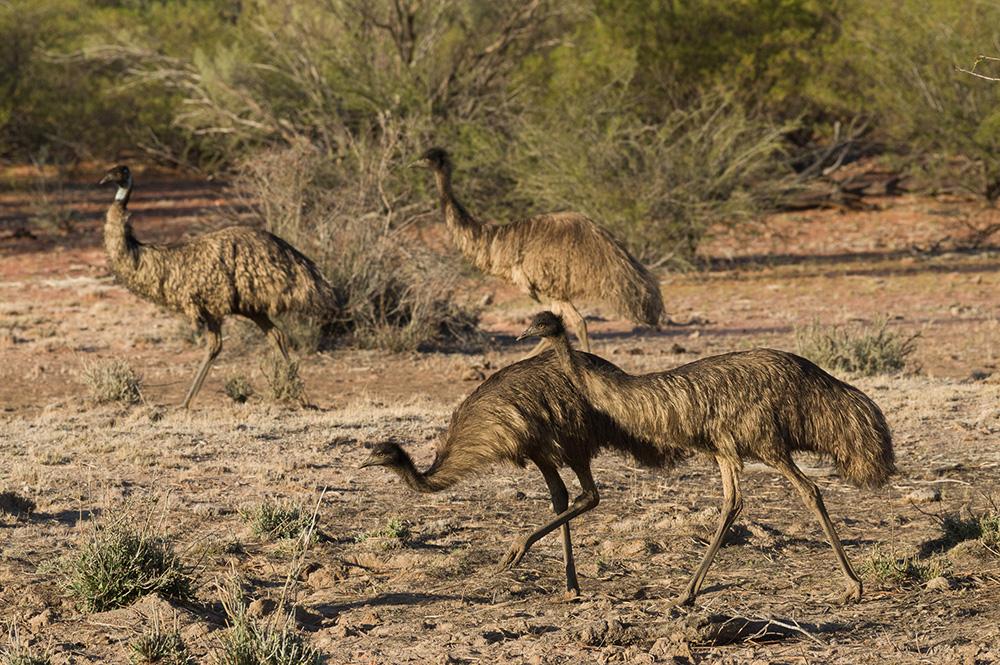 Emus. Photo: David Nelson