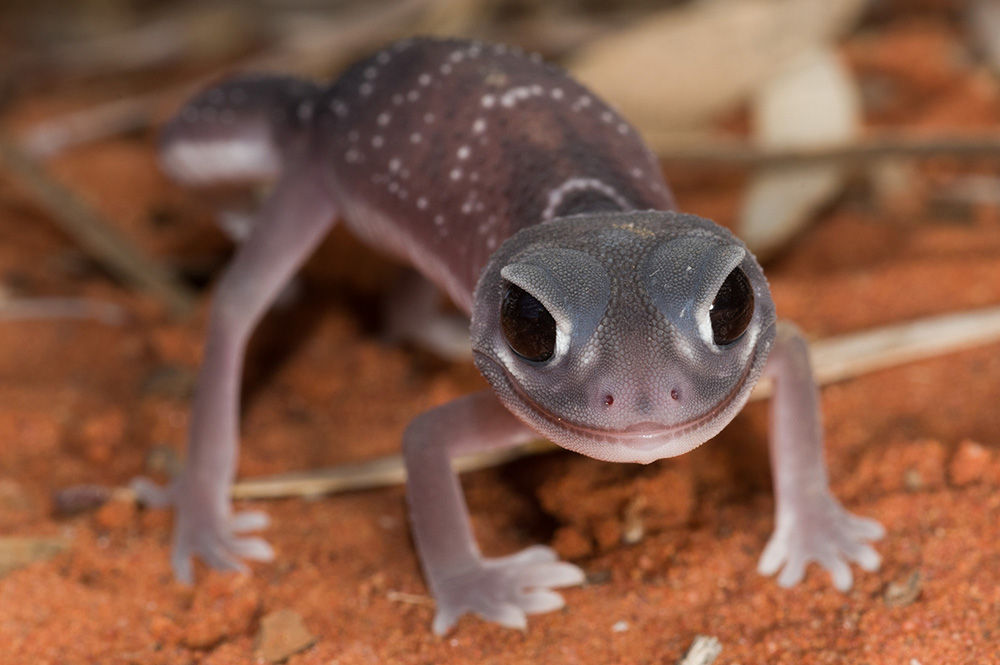 Nephrurus levis, Knob-tailed Gecko. Photo: David Nelson
