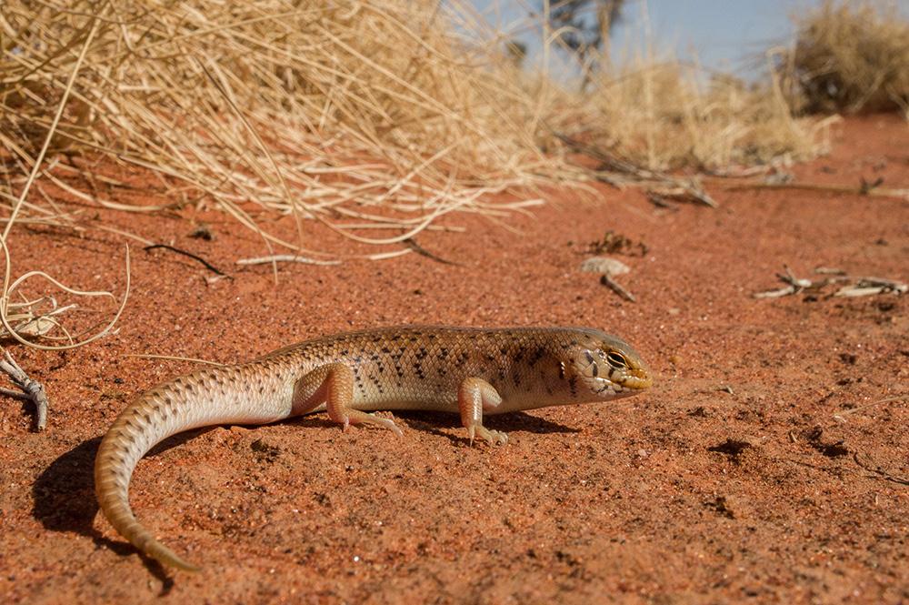 <I>Liopholis inornata</I>, Desert Skink. Photo: David Nelson
