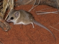 <I>Sminthopsis youngsoni</I>, Lesser Hairy-footed Dunnart. Photo: David Nelson