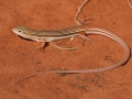 <I>Ctenotus leae. Photo: David Nelson