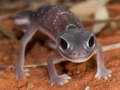 <I>Nephrurus levis, Knob-tailed Gecko. Photo: David Nelson