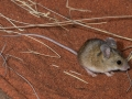 <I>Pseudomys hermannsburgensis</I>, Sandy Inland Mouse. Photo: David Nelson
