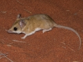 <I>Sminthopsis hirtipes</I>, Hairy-footed Dunnart. Photo: David Nelson