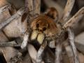 Wolf Spider. Photo: David Nelson