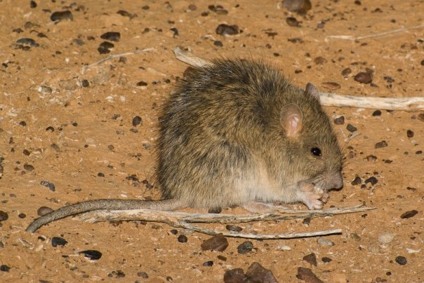 Long-haired Rat, <i>Rattus villosissimus</I>. Photo: David Nelson