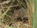<I>Antechinus stuartii</I>. Photo: David Nelson
