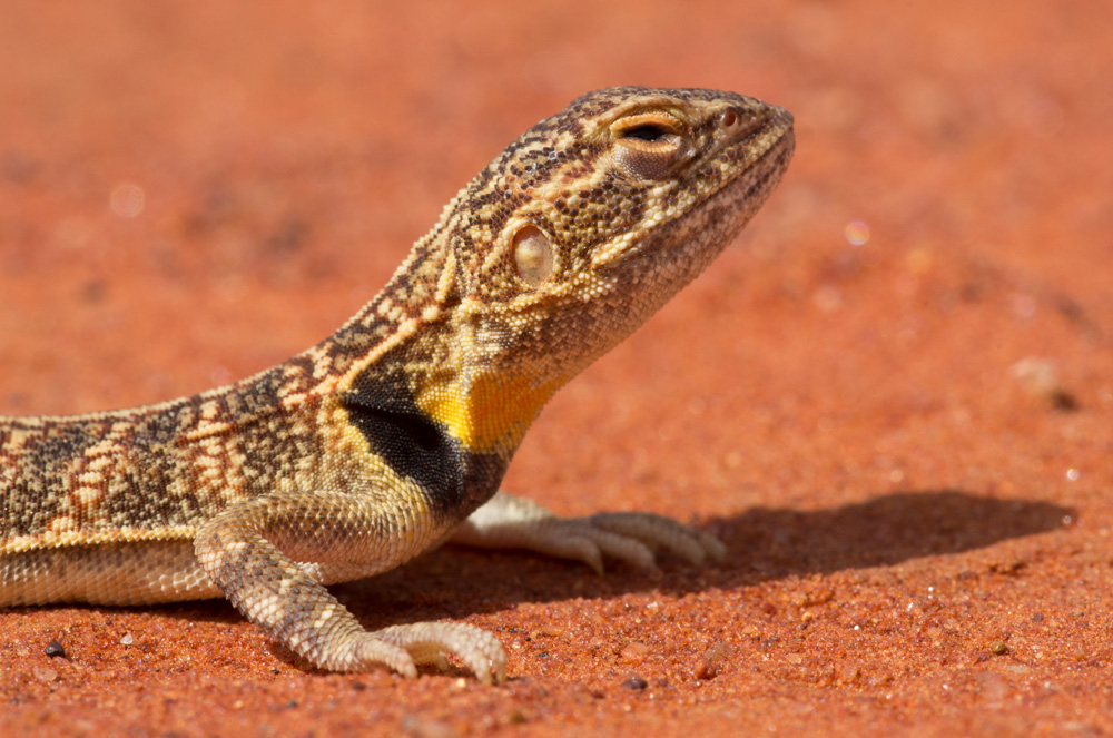 Ctenophorus clayi, the Collared Dragon, showing male breeding colouration. Photo: David Nelson