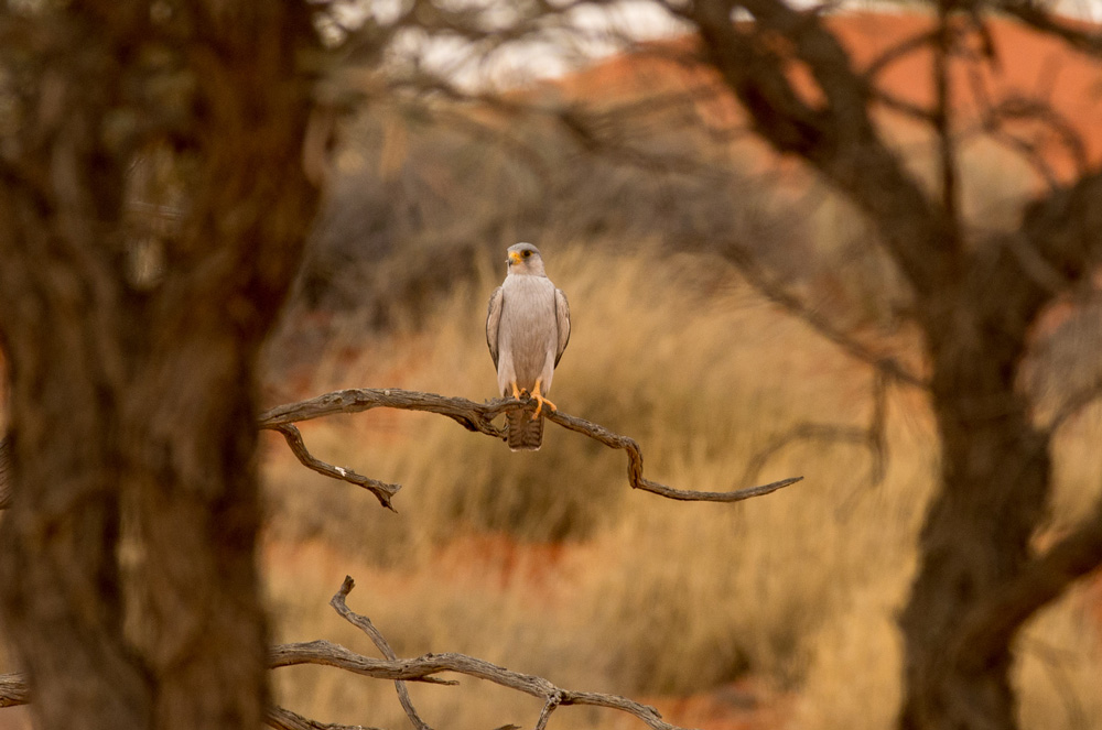 Grey Falcon. Photo: David Nelson