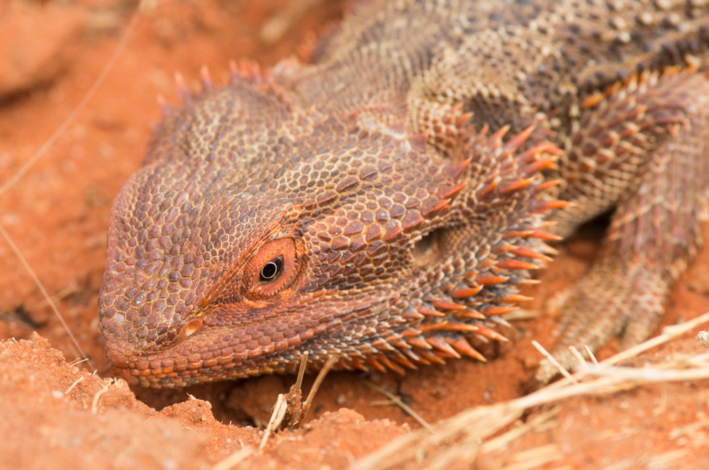 Bearded Dragon. Pogona vitticeps. Photo: David Nelson