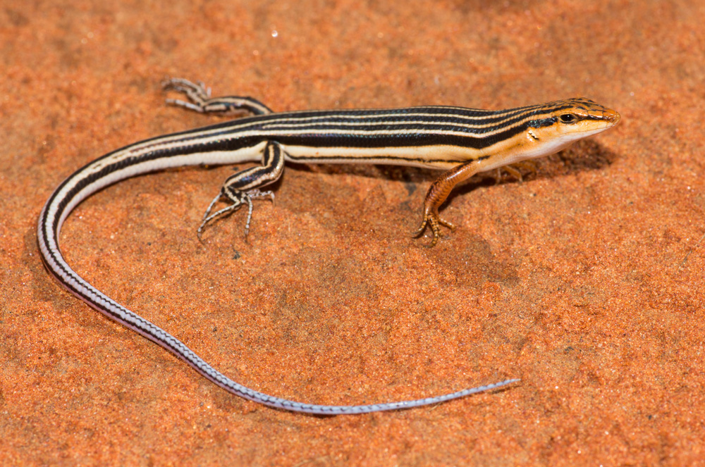 Blue-tailed skink, Ctenotus calurus. Photo: David Nelson