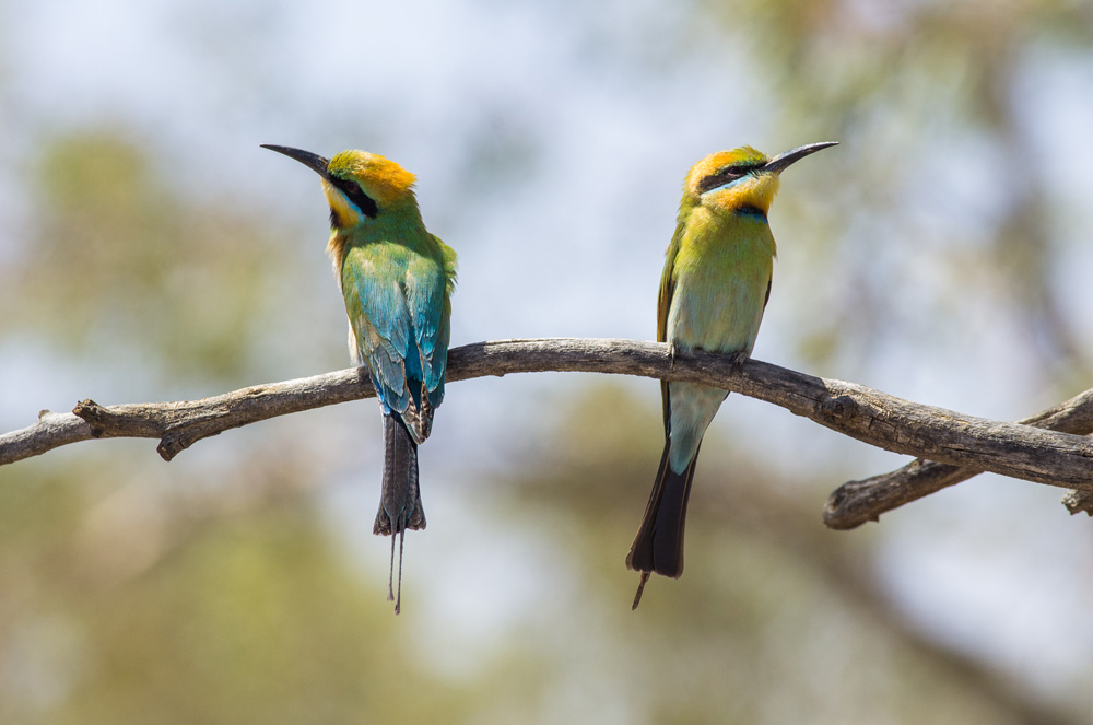 Rainbow Bee-Eaters. Photo: David Nelson