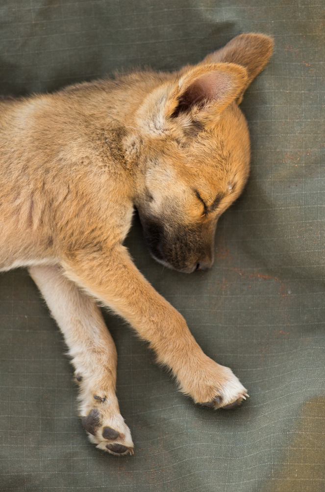 Dingo pup. Photo: David Nelson