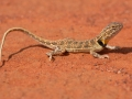 Collared Dragon, Ctenophorus clayi. Photo: David Nelson