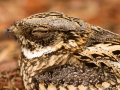 Spotted Nightjar. Photo: David Nelson