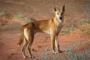 Dingo. Photo: Bobby Tamayo