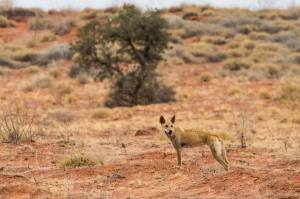Dingo. Photo: David Nelson