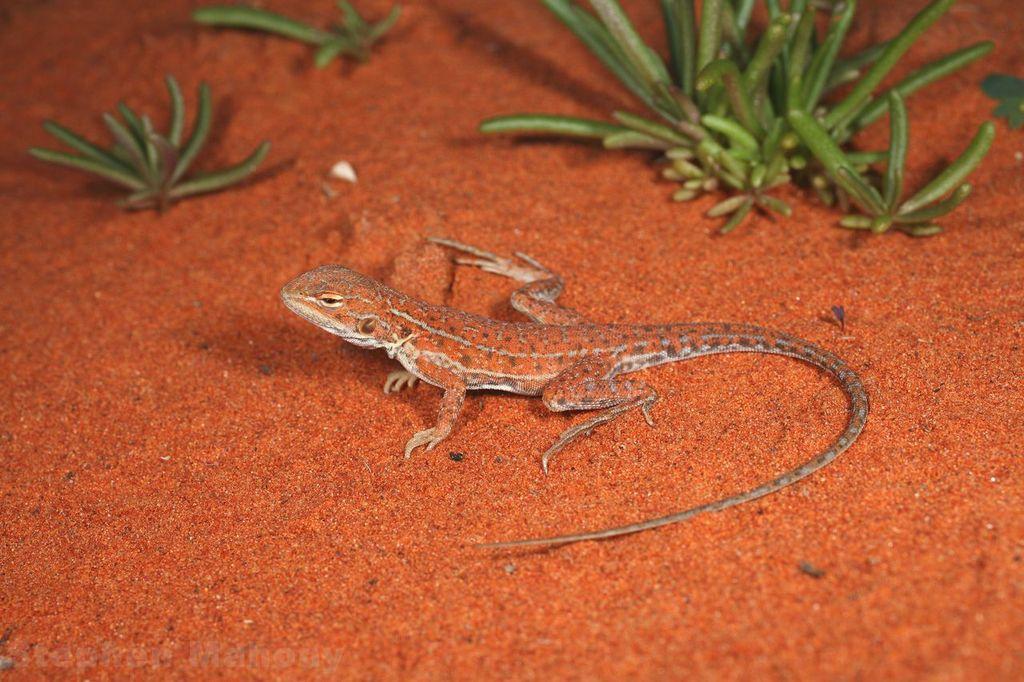 <i>Ctenophorus isolepis</I>. Photo: Stephen Mahony.