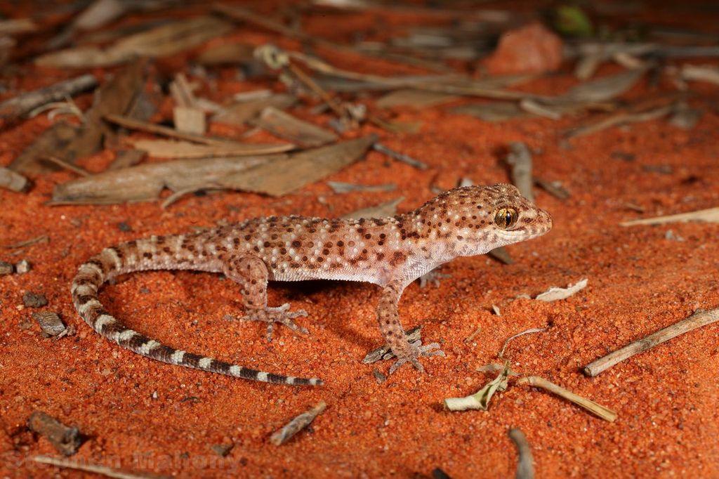 <i>Heteronotia binoei</I>. Photo: Stephen Mahony.