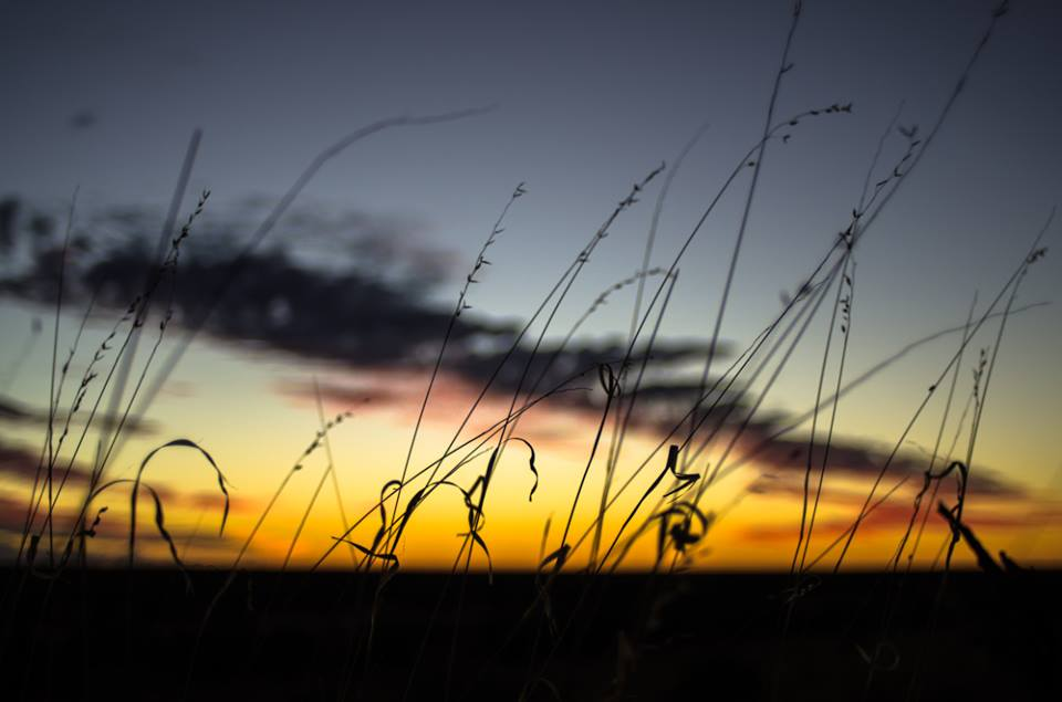 Spinifex seed heads at sunset. Photo: David Nelson