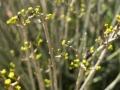 Euphorbia sarcostemmoides. Photo: David Nelson