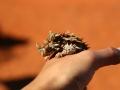 Thorny Devil. <I>Moloch horridus</I>. Photo: Enyi Guo