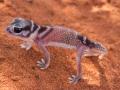 <I>Nephrurus levis</I>, Knob-Tailed Gecko. Photo: David Nelson