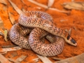 <i>Brachyurophis fasciolatus</I>, Narrow-Banded Shovel-Nosed Snake. Photo: David Nelson