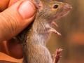 <i>Pseudomys desertor</I>, Desert Mouse. Photo: David Nelson