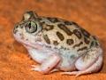 <i>Neobatrachus sudellae, </i>Desert Trilling Frog. Photo: David Nelson