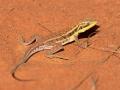 <I>Ctenophorus isolepis</I>, Military Dragon. Photo: David Nelson