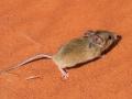Sandy Inland Mouse, <I>Pseudomys hermannsbergensis</I>. Photo: David Nelson