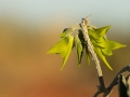 <I>Crotalaria cunninghamii</I>, Regal Bird-Flower. Photo: David Nelson