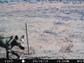 Dingo captured with remote camera. Photo: Jess Dormer