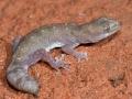 Tesselated gecko, <i>Diplodactylus tessellatus</I>, WIndorah. Photo: David Nelson