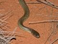 Young Mulga,<i> Pseudechis australis</I>. Windorah. Photo: David Nelson