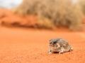 <i>Notaden nichollsi</I>, Desert Spadefoot. Photo: David Nelson