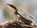 Long-nosed dragon, <i>Amphibolurus longirostris</I>. Photo: David Nelson