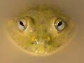 Water Holding Frog, <i>Cyclorana platycephala</I>. Near Boulia. Photo: David Nelson