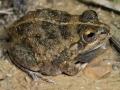 Knife-footed water-holding frog, <i>Cyclorana cultripes</I>. Near Boulia. Photo: David Nelson