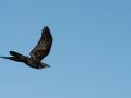 Little Crow. Photo: David Nelson