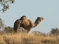 Camel. Photo: David Nelson