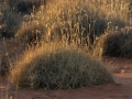 Everyone's favourite grass, spinifex (<i>Triodia basedowii</I>). Photo: David Nelson